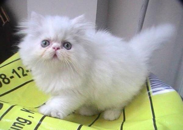 Ciri kucing persia flatnose