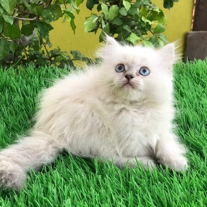 Ciri kucing persia himalaya
