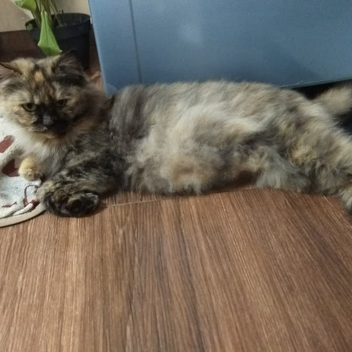 Ciri kucing persia medium