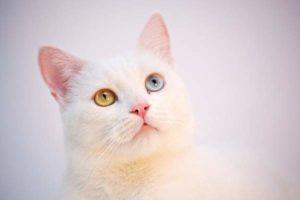 Harga anak kucing anggora