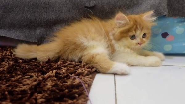 Harga anak kucing persia flatnose