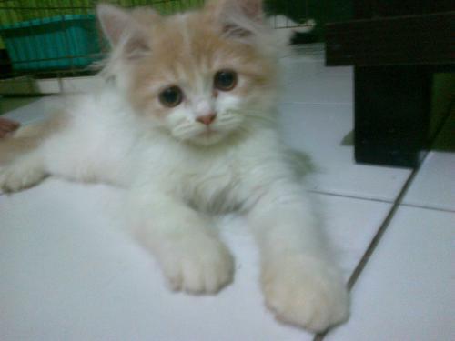 Harga anak kucing persia medium