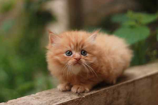 Harga anak kucing persia