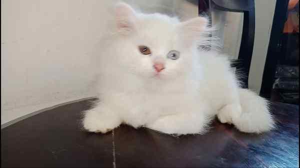 Harga kucing persia medium