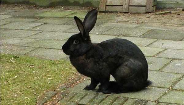 Jenis kelinci lokal