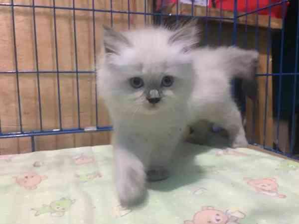 Jenis kucing persia himalaya