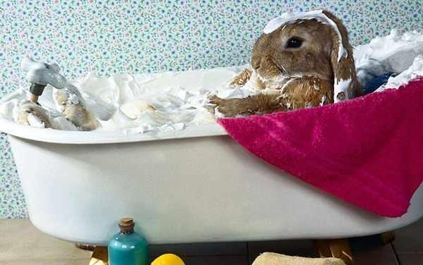 Cara memandikan kelinci dengan benar