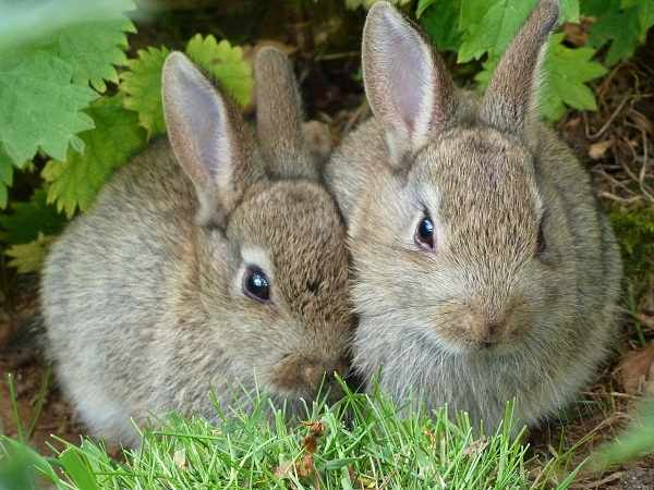 Cara membedakan kelinci jantan dan betina