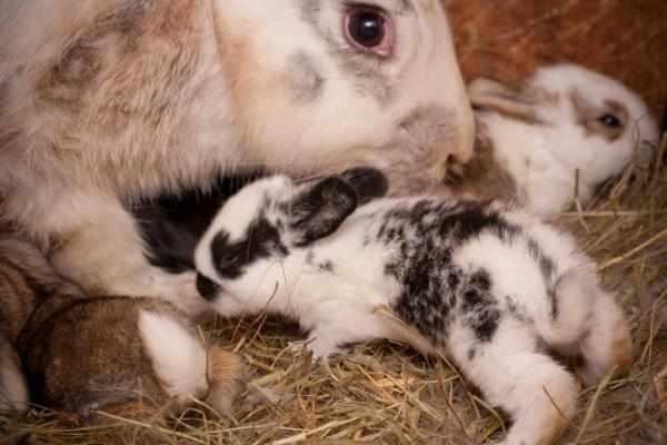 Ciri-ciri kelinci hamil dan mau melahirkan