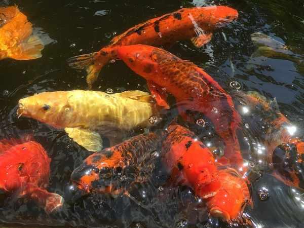 Harga ikan koi besar, kecil, lokal, import