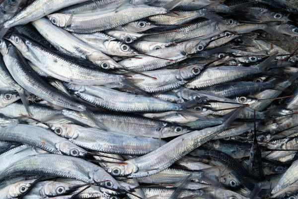Harga ikan tenggiri hari ini