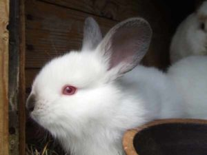 Harga kelinci anggora