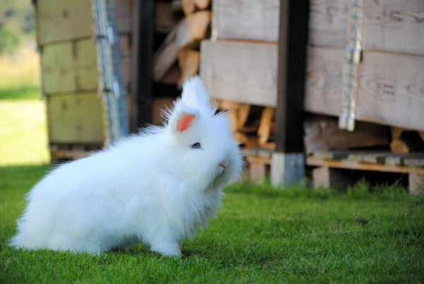 Harga kelinci anggora terbaru