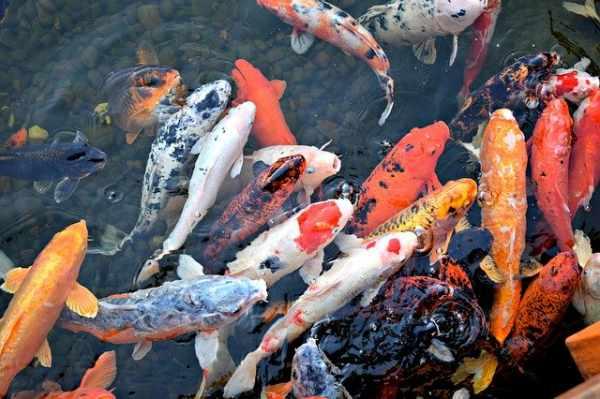 Daftar Harga Ikan Koi Besar Kecil Lokal Import Terbaru Dan Lengkap