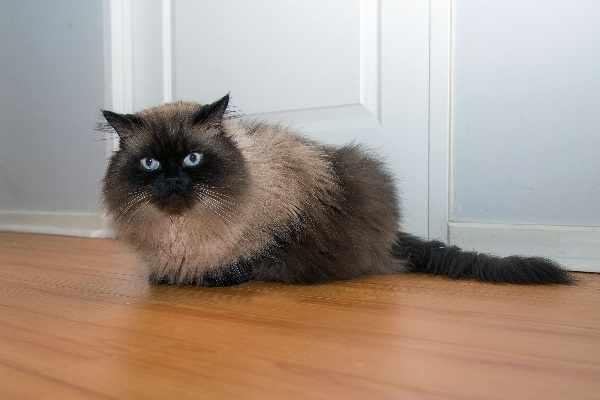 Harga kucing persia himalaya terbaru