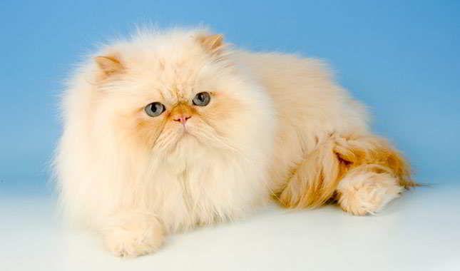 Harga kucing persia flatnose