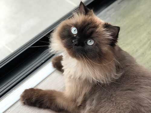 Harga kucing persia himalaya