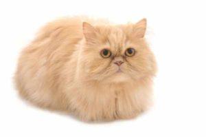 Harga kucing persia peaknose