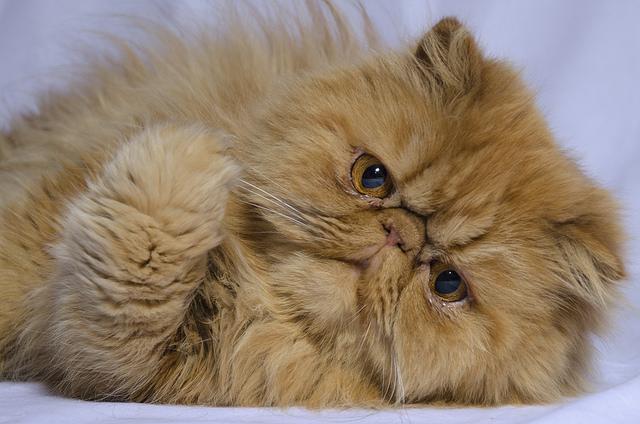 Harga kucing persia peaknose terbaru
