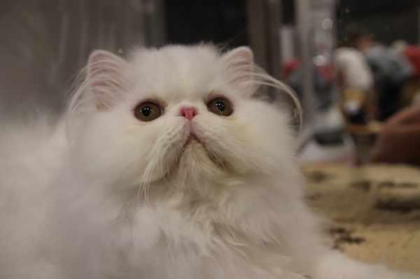 Daftar Harga Kucing Persia Semua Jenis Terbaru Dan Lengkap