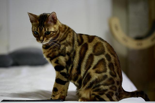 Karakteristik kucing bengal
