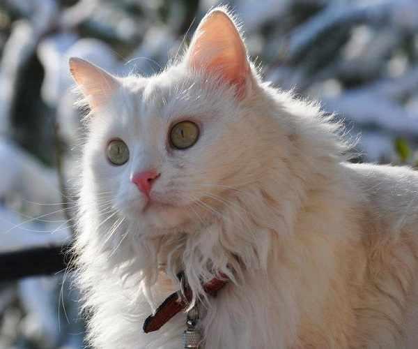 Kucing anggora asli