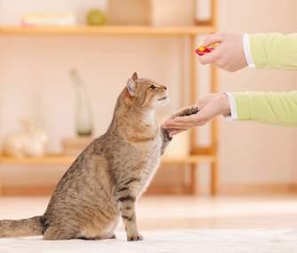 Melatih kucing bersalaman