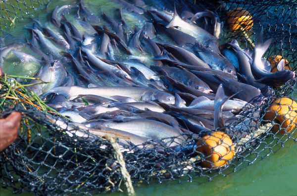 30 Racikan Rahasia Umpan Ikan Lele Paling Jitu Sudut Kebun