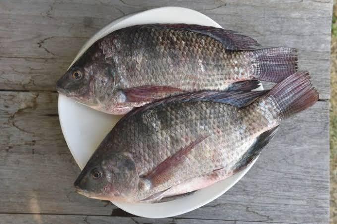 Umpan ikan mujair yang ampuh