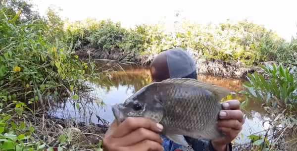 Umpan ikan nila babon