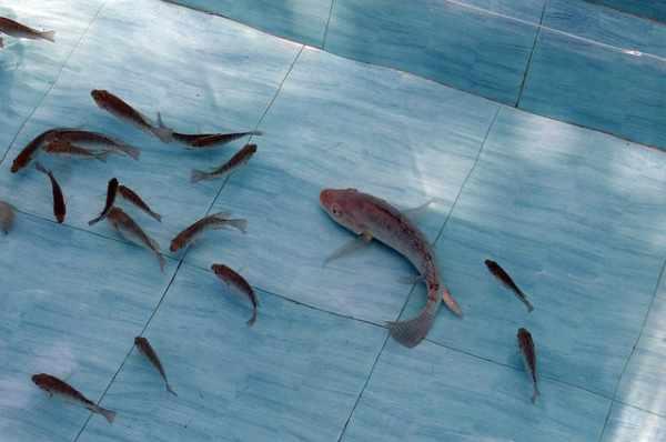 Cara budidaya ikan nila untuk pemula