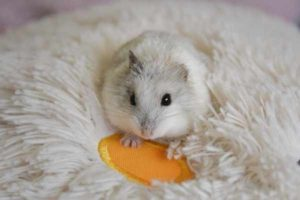 Cara merawat hamster agar sehat