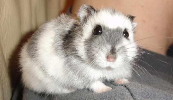 Cara merawat hamster yang baik dan benar