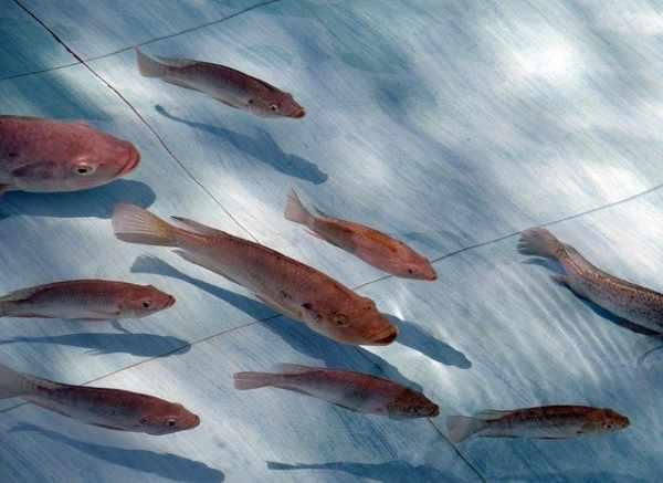 Cara ternak ikan nila di kolam terpal dan beton