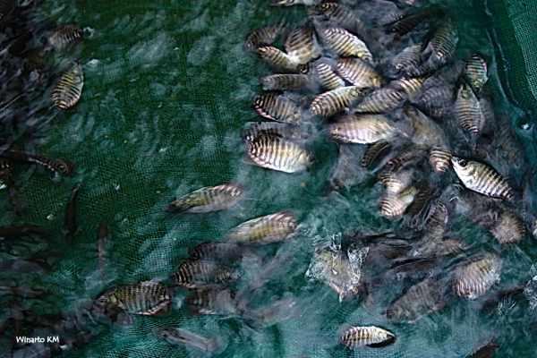 Harga bibit ikan gurame