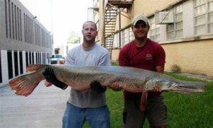 Harga ikan aligator gar terbaru