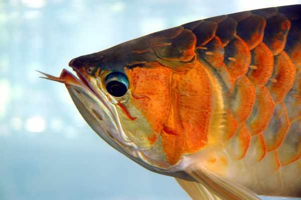 Harga ikan arwana super red, silver, golden red, albino