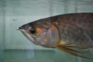 Harga ikan arwana terbaru