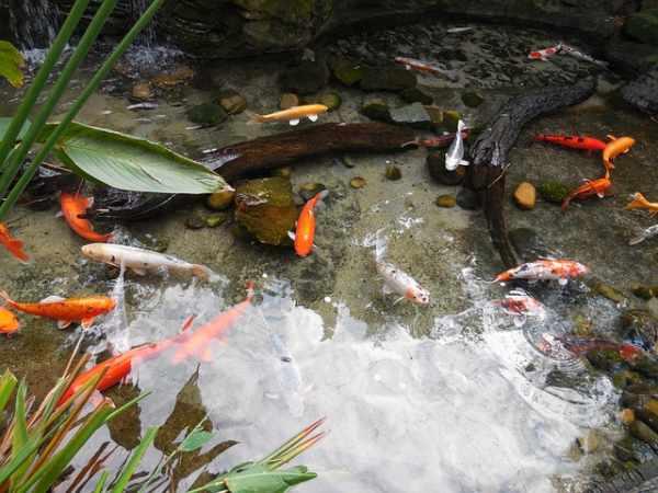 Panduan membuat kolam ikan sederhana