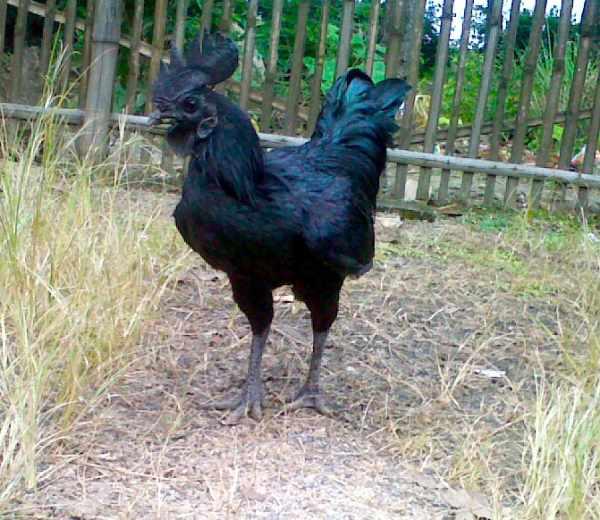 Ciri-ciri ayam cemani asli
