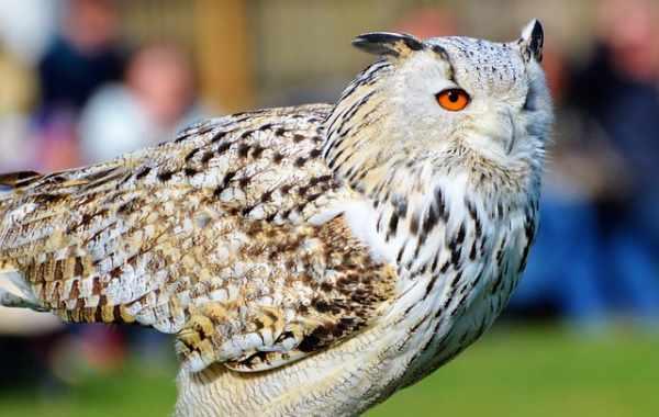 Daftar Harga Burung Hantu Semua Jenis Terbaru Dan Terlengkap