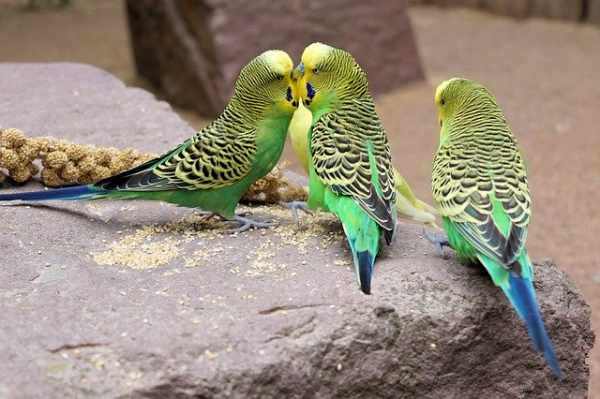 Harga burung parkit australia, lokal, jinak, anakan