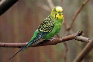 Harga burung parkit terbaru