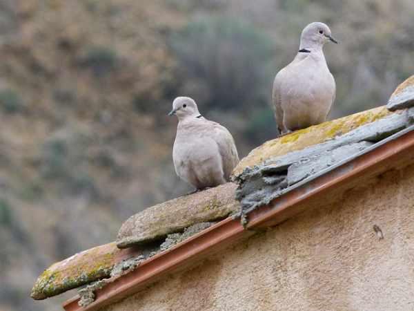 Harga burung perkutut terbaru