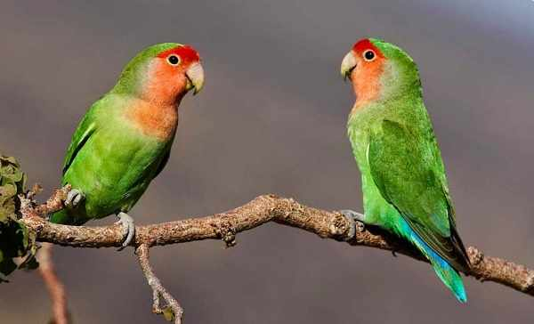 Jenis lovebird muka salem