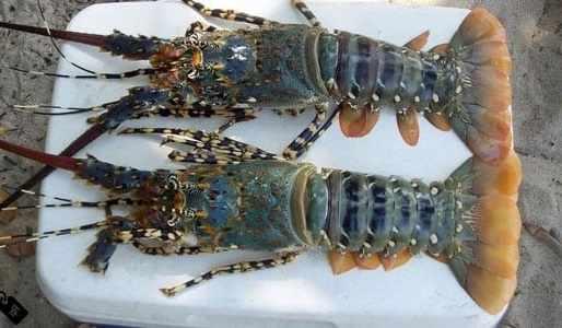 Cara budidaya lobster air tawar dan harganya