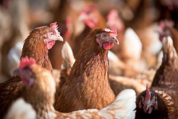 Cara ternak ayam petelur rumahan