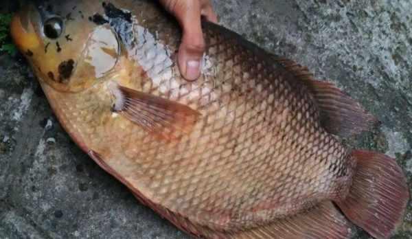 Daftar harga ikan gurame per kilo, per ekor, per box