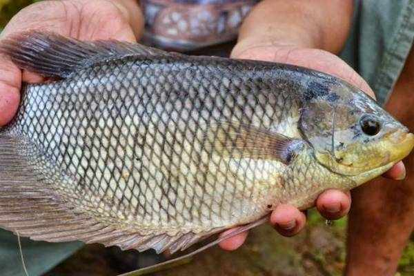Harga ikan gurame terbaru