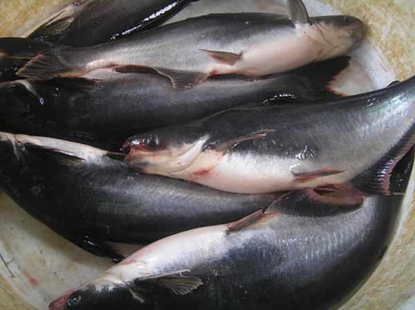 Harga ikan patin per kg